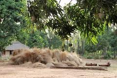 Fruit (thierry_meunier) Tags: conakry guinea guinee fruit paille africa afrique village tree arbre savanne piste