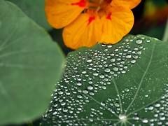 Autumn Tropaeolum (the justified sinner) Tags: justifiedsinner garden flower plant panasonic leica elmarit macro 28 tropaeolum rain drop autumn