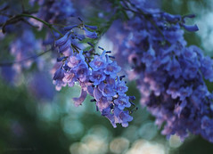 Jacaranda flowers bokeh_c (gnarlydog) Tags: flowers bokeh canontv1650mmf14 australia nature purple tree speckledhighlights bubbles shallowdepthoffield painterly