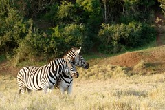 Burchell's Zebra in a filed (markdescande) Tags: africa natural safari herd william mammal south background animal plains named national herbivore way naturalist outdoors burchells quagga white lines pattern stripes eating green black closeup nature zebra time subspecies look john wild explorer burchell striped after grass wildlife southern travel standing british camera grassland park sky african wilderness field
