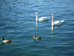 Swans in Como lake (SoniaM (Italian teacher)) Tags: italia italy lombardia varenna lagodicomo comolake lago laghi lake lakes village villages paese paesi landscape paesaggio paesaggi panorama view nature natura travel viaggio viaggi travels culture cigno cigni swan swans animal animali animale animals