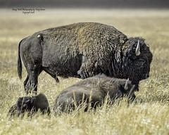 American Bison, Mormon Row, Jackson Hole Wyoming (Hawg Wild Photography) Tags: americanbison mormonrow jacksonholewyoming nature wildlife animal animals grand teton tetons national park terrygreen nikon nikond4s nikon600mmvr hawg wild photography