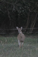 _MG_1897 (thinktank8326) Tags: deer whitetaileddeer fawn doe babyanimal babydeer