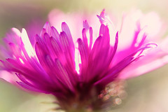 Aster (mclcbooks) Tags: flower flowers floral macro closeup aster asters denverbotanicgardens colorado zerenestacker focusstacking