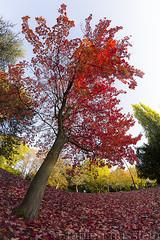 L'automne  Metz (1) (Fabien Husslein) Tags: automne autumn fall erable maple acer red rouge feu fire couleur colour city metz ville moselle lorraine france