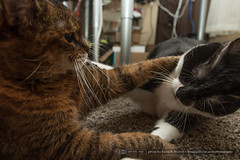 Play time. (DavidDPD) Tags: cat cats lucy veronica