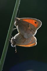 D71_8433A (vkalivoda) Tags: macromondays backlit motl butterfly schmetterling insect macro depthoffield bokeh serene makro ok okpohkov coenonymphapamphilus okpohnkov smallheath kleineswiesenvgelchen lleonadacomuna okkergulrandje kollakasaasasilmik nispola procris obinioka panfilo parastaissksamtenis gelsvasissatyriukas kissznalepke hooibeestje engringvinge strzpotekruczajnik obinanimfa keltaniittyperhonen kamgrsfjril