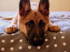 Dlit de lit (Et si, et si ...) Tags: portrait chien chiot berger couleur lit aya