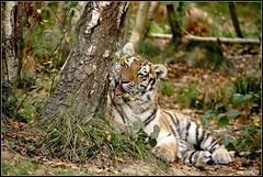 Sibrien (musicos95) Tags: tigre sibrien tigrou flin flins parcdesflins