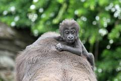Virunga, bébé gorille de côte (olivier.ghettem) Tags: gorille gorilledecôte gorilla bébé animal bioparcvalencia valence valencia afriqueéquatoriale afrique africa primate primates singes singe grandsinge espagne spain
