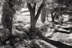 Little Tuscany (Jens J. Hoffmann) Tags: bw blackwhitephotos nikon d90 infrarot infrared landscape mood nature sw tree einfarbig outdoor landschaft wald pflanze baum