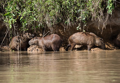 DSC_0856.jpg (riandar) Tags: brazil pantanal safari capybara wildlife mammals rodent nature