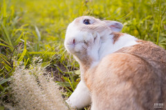 IMG_1730.jpg (ina070) Tags: animals canon6d cute grass outdoor outside pets rabbit rabbits