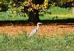 Airone d'autunno...step by step (only_sepp) Tags: allnaturesparadise allaperto simplysuperb aironi aironegrigio cenerino autunno foglie alberi coloridautunno