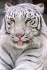 Sky ♂ - Blue Eyed Prince (Belteshazzar (AKA Harimau Kayu)) Tags: sky tiger zoo animal bigcat bigcats feline bengaltiger pantheratigristigris königstiger indischertiger eltigredebengala tigredubengale latigrerealedelbengala бенгальскийтигр 孟加拉虎 whitetiger weisertiger tigreblanco tigreblancroyal белыйтигр 孟加拉白虎 zooshot tobu tobuzoo snowwhite sunbathing canada playful playfulcat playfultiger playfulwhitetiger bengal sex blueeyes curiosity