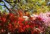 _MG_4429 (TobiasW.) Tags: spring frühling fruehling garden gardenflowers gartenblumen gärten garten blue mountains nsw australien australia backyard public