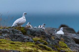 Ptarmigan flock
