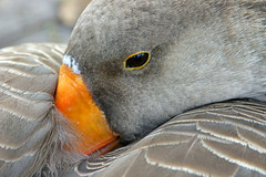 cozy (Dianne M.) Tags: canadagoose nature gray feathers pattern outside relaxing lakeland florida ngc