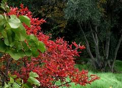 Autumn garden: Lagerstroemia, Cercis & Olea. (bego vega) Tags: jardn garden rbol tree otoo autumn lagerstroemia indica cercis siliquastrum olea olivo madrid vf bego vega bv