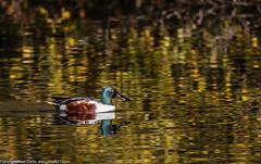 9Q6A9060 (2) (Alinbidford) Tags: alinbidford alancurtis brandonmarsh goldeneye cormorant greyheron heron shoveler greatcrestedgrebe kestrel shelduck wildfowl