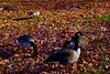 DSC_0178 (violetgiddings) Tags: boston bostonuniversity newengland fall esplanade charlesriver goose geese