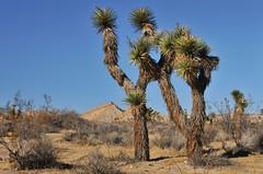 Joshua Tree 1 (Starkrusher (On the road again)) Tags: nationalpark joshuatreenationalpark joshuatree desert california