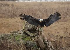 A Perfect 10 (T0nyJ0yce) Tags: baldeagle haliaeetusleucocephalus wild raptor birdofprey landing wildlife birds westcoast pnw wildeagle explore