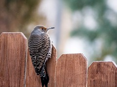 Baby it's cold outside... (KWinters Photography Colorado) Tags: frost winter flickrnature nahaufnahme specht natur vogel d7200 bokeh woodpecker nikondigital nikondsl colorado closeup sigma150600 sigma nikon flickr feathers nature outdoor bird flicker northernflicker