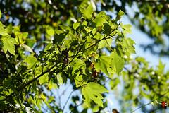 DSC00736.jpg (joe.spandrusyszyn) Tags: byjoespandrusyszyn unitedstatesofamerica sapindales acer florida orlando oaklandnaturepreserve nature lakeapopka plant floweringplant acerrubrum angiospermae maple redmaple sapindaceae