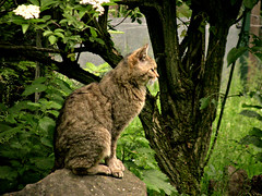 cat-serie, wildcat, 75292/12348 (roba66) Tags: cat wildcat wildkatze tier tiere animal animals creature katze kitty gato chat pet felines roba66 wild faun fauna zoo wildpark