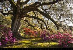 Southern Comfort - Blooming Azalea Flowers in Charleston SC (Dave Allen Photography) Tags: old morning travel pink flowers trees red vacation sunlight tree sc nature sunrise landscape moss spring oak nikon colorful paradise azaleas seasons natural vibrant south seasonal relaxing scenic southcarolina peaceful wideangle plantation spanishmoss carolina blooms oaks charlestonsc goldenhour daveallen blooming ashleyriver deepsouth lowcountry magnoliaplantation magnoliagardens chucktown d700 mygearandme mygearandmepremium mygearandmebronze mygearandmesilver mygearandmegold mygearandmeplatinum mygearandmediamond