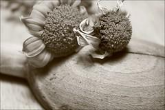 Wilted Flower Black And White White Black Flower Sepia