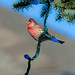 House Finch in Lights