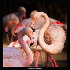 flamingo1 (stella-mia) Tags: pink berlin zoo flamingo 70200mm canon7d annakrmcke krmcke