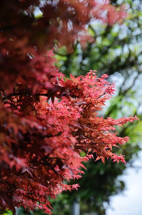 竹子湖紅楓20.jpg