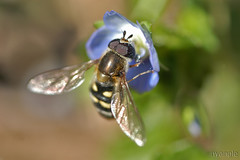hoverfly (nyangle) Tags: flower macro nature insect hoverfly  fieldspeedwell tamron172e