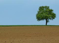 einsamer Baum (zikade) Tags: feld ravenstein badenwrttemberg deuschland einsamerbaum
