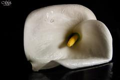 calla-2 (Soniett@) Tags: il mio fiore preferito