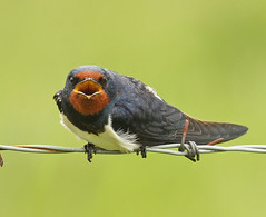 Swallow - Hirundo rustica (Roger H3) Tags: bird swallow hirundine