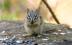 Chipmunk Stare (Kurayba) Tags: park canada nature creek warm edmonton pentax bokeh eating sigma seeds chipmunk alberta 400 stump stare ravine f56 staring preserve k5 whitemud