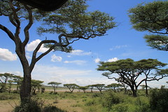 Ndutu acacias (jnyaroundtheworld) Tags: africa animals tanzania wildlife lion ngorongoro crater zebra giraffe massai serengeti animaux girafe afrique faune zbre tanzanie greatmigration wetseason manyaralake ndutu felins masa lacmanyara saisondespluies grandemigration