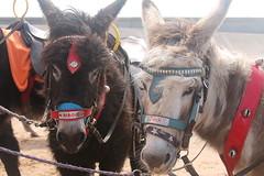 Magic and Jack (zego123) Tags: beach animals donkeys southport