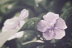 So in love (*ZooZoom) Tags: life flowers plants drops costarica sweet violet xp raindrops delicate tender centralamerica soinlove thewayitis so lifeitself