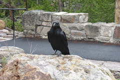 Black Bird Sitting on a Big Park Rock (sprout2008) Tags: yellowstone tetons
