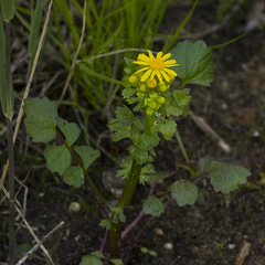 Packera glabella (Butterweed) -- Asteraceae (Michael Huft) Tags: asteraceae indianadunes packera butterweed packeraglabella