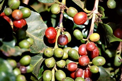 Coffee Beans, ripening, Kenya Sep 1980 img194 (Hart Walter) Tags: tourism coffee cattle rice tea goats sunflower sisal camels sugarcane deforestation desertification tef africanlanduse baobabdestruction