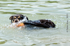 Limit Swims 2013-05-21-6 (falon_167) Tags: dog australian limit kelpie australiankelpie