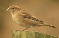 House Sparrow (Wipeout Dave) Tags: bird wildlife sparrow housesparrow djs rspb gardenbird redstatus wipeoutdave canoneos1100d djs2012