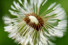 Make a wish! (Maxi Winter) Tags: brown white plant macro green pflanze dandelion seeds grn braun 90mm verblht samen taraxacum niedersachsen lowersaxony lwenzahn weis achene osterholzscharmbeck achne