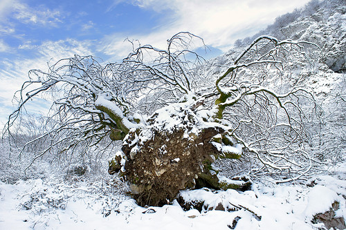 uproot tree in snow due hurricane